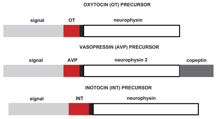 Development of a human vasopressin V<sub>1a</sub>-receptor antagonist from an evolutionary-related insect neuropeptide
